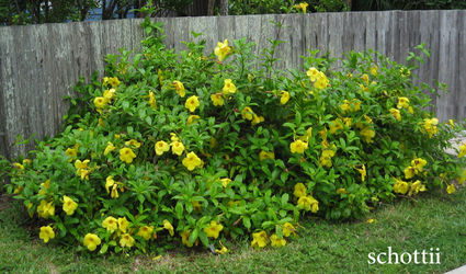 Plant Of The Month Allamanda Alabama Gazette